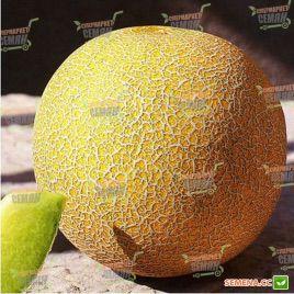 Посол F1 семена дыни тип Галия ранней 65-70 дн. 2-3,5 кг окр. орн./зел. (Lark Seeds)