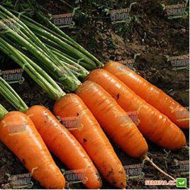 Ред Коред семена моркови Шантане (Lark Seeds)