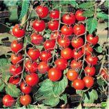 Старскрим F1 семена томата дет. черри раннего 95 дн. окр. 25-30 гр. красный (Lark Seeds)