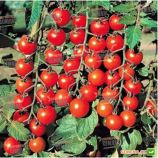 Старскрим F1 семена томата дет. черри раннего 95 дн. окр. 25-30 гр. (Lark Seeds)