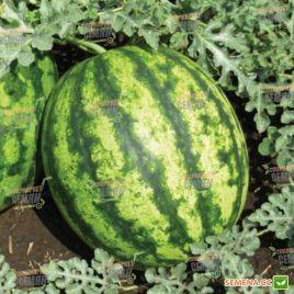 Султан F1 семена арбуза тип Кримсон Свит раннего 65-67 дн 7-9 кг (Lark Seeds)