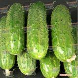 ЗКИ 104 (ZKI 104) F1 семена огурца корнишона партенокарп. раннего 42 дн. 9-13 см (Lark Seeds)