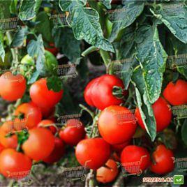 Даруна F1 семена томата дет. среднераннего окр. 130-150г (Lucky Seed)