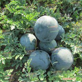 ЛС 1545 F1 (LS 1545 F1) семена арбуза раннего тип Шуга Беби 8-10 кг (Lucky Seed)
