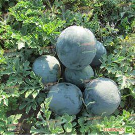 ЛС 1545 F1 (LS 1545 F1) семена арбуза тип Шуга Беби раннего 8-10 кг окр. (Lucky Seed)