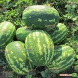 ЛС 1665 F1 (LS 1665 F1) семена арбуза тип кр.св. ультрараннего 58-60 дн. 8-10 кг овал. (Lucky Seed)
