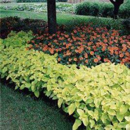 Визард голден семена колеуса (Pan American)