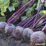 Воевода F1 семена свеклы столовой 110-120дн 200-250гр окр. (Lucky Seed)