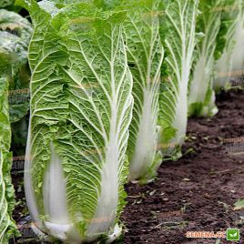 Зимородок F1 семена капусты пекинской средней 1-1,5кг для втор. об. (Lucky Seed)