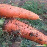 Абако F1 семена моркови Шантане (Seminis)
