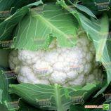 Абені F1 (Abeni F1) насіння капусти цвітної ранньої (Seminis)