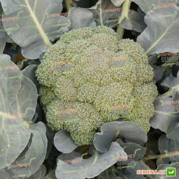 Айронмен F1 (Ironman F1) семена капусты брокколи среднепоздней 64-81 дн. (Seminis)