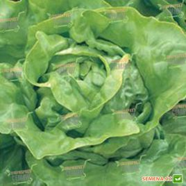 Аланис семена салата тип Маслянистый (Seminis) НЕТ ТОВАРА