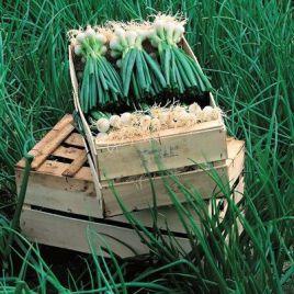 Де Барлетта семена лука на перо раннего 110дн. (Vilmorin)