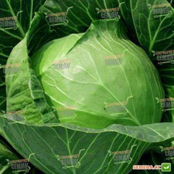 Чэмп F1 семена капусты б/к ультраранней (Seminis)