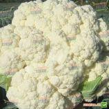 Фридом F1 семена капусты цветной (Seminis)