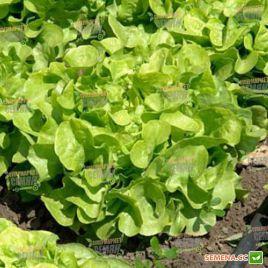 Фризол семена салата тип Дуболистный (Seminis) НЕТ СЕМЯН