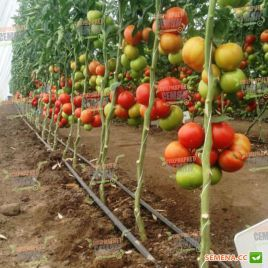 Игидо F1 семена томата индет. сред. окр. 180-200 гр. (DRS-Seminis)