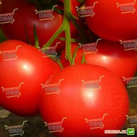 Канна F1 семена томата индет розового (DRS-Seminis)