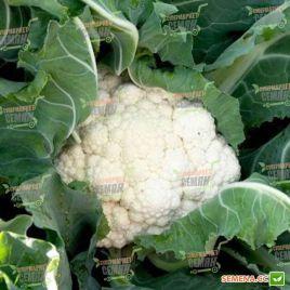 Кердос F1 семена капусты цветной (Seminis)