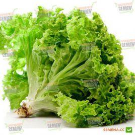 Хьюджин семена салата тип Гранд Рапидс (DRS-Seminis) НЕТ СЕМЯН