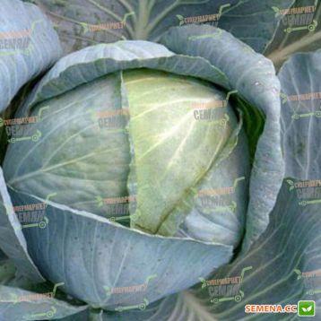 Колия F1 семена капусты б/к среднепоздней (Seminis)