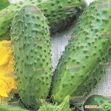 Левина F1 (Levina F1) семена огурца корнишона пчелооп. раннего 40-45 дн. 7-10 см (Seminis) НЕТ ТОВАРА