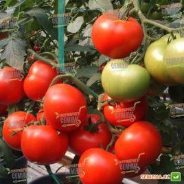 Магнус F1 семена томата полудет (DRS-Seminis)