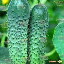 Маринда F1 (Marinda F1) семена огурца партенокарп. раннего 40-45 дн. 8-12 см (Seminis)