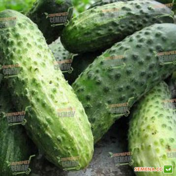 Маринда F1 (Marinda F1) семена огурца корнишона партенокарп. раннего 40-45 дн. 8-12 см (Seminis)