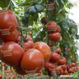 Матиас F1 семена томата индет. среднераннего 100-115 дн. окр. 250-300гр (DRS-Seminis)