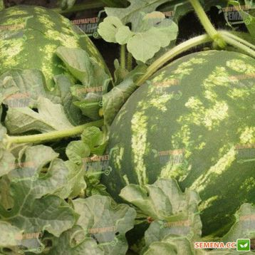Мелания F1 семена арбуза среднего тип Кримсон Свит 9-12 кг (Seminis) НЕТ ТОВАРА