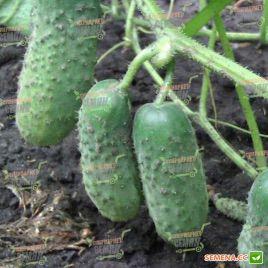 семена огурца надежда f1