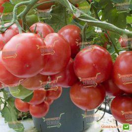 Платус F1 семена томата полудет (DRS-Seminis)
