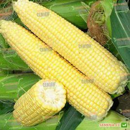 Сигнет F1 (Signet F1) семена кукурузы суперсладкой Sh2 ранней 71-72 дн. 20-21см 16-18р. (Seminis)