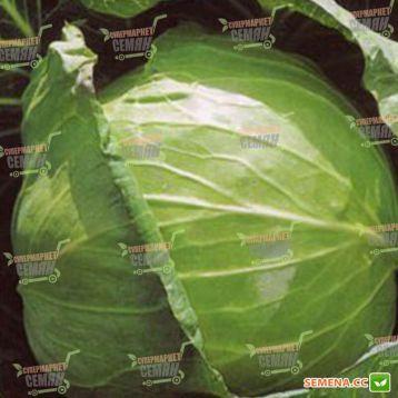 СВ 3336 ЖБ F1 семена капусты б/к средней (Seminis)