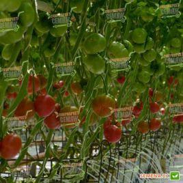 Томимару Мучоо F1 семена томата индет. розового 160-180 гр. (DRS-Seminis) НЕТ ТОВАРА
