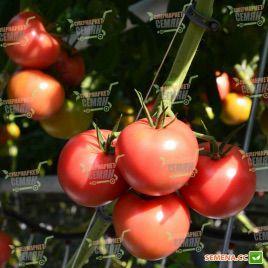 Томимару Мучо F1 семена томата индет. розового (DRS-Seminis)