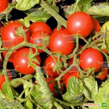 Церазо F1 семена томата дет. черри (Seminis)