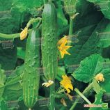 семена огурца апрельский f1