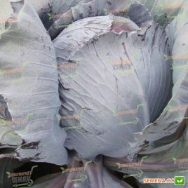 Авангард F1 семена капусты к/к среднепоздней 95-105 дн. до 3 кг окр. (Semenaoptom)
