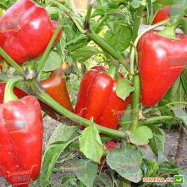 Богатырь семена перца сладкого (Semenaoptom)