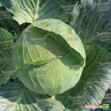 Дитмаршер Фрюер семена капусты б/к ранней (Semenaoptom)