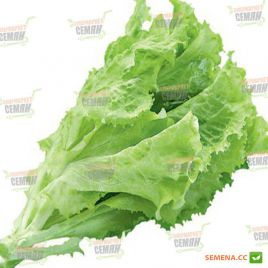 Гентилина семена салата тип Батавия (Semenaoptom)