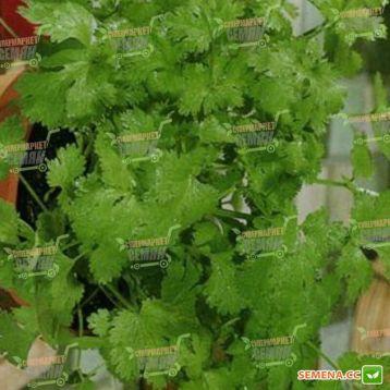 Янтарь семена кориандра (Semenaoptom)