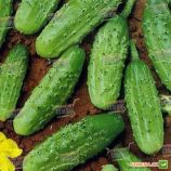 Конкурент насіння огірка бджолозапильного (Semenaoptom)
