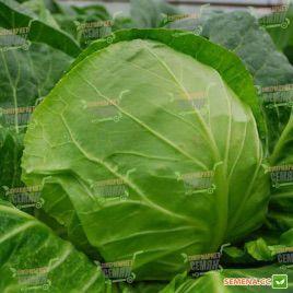 Крафт F1 семена капусты б/к среднеранней (Semenaoptom)