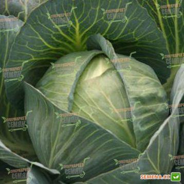 Престиж F1 семена капусты б/к поздней (Semenaoptom)