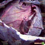 Редкеб семена капусты к/к среднепоздней (Semenaoptom)