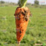 Ред Кор семена моркови Шантане Италия (Semenaoptom)